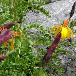 Photographie n°46845 du taxon Asteraceae