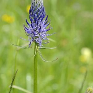Photographie n°47080 du taxon Phyteuma spicatum L.