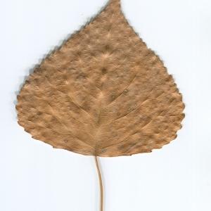 Photographie n°47208 du taxon Populus nigra L.