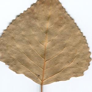 Photographie n°47209 du taxon Populus nigra L.