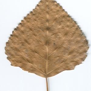 Photographie n°47210 du taxon Populus nigra L.