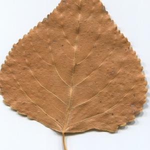 Photographie n°47211 du taxon Populus nigra L.
