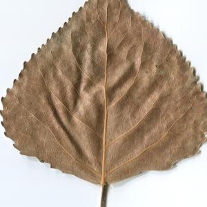 Photographie n°47212 du taxon Populus nigra L.
