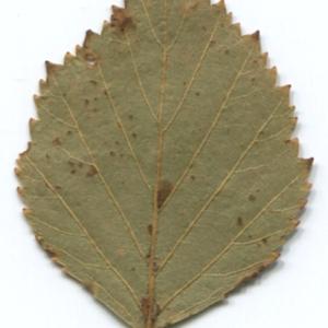 Photographie n°47235 du taxon Betula pubescens Ehrh. [1791]