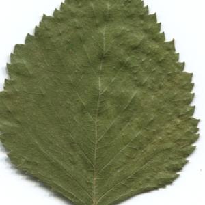 Photographie n°47236 du taxon Betula pubescens Ehrh. [1791]
