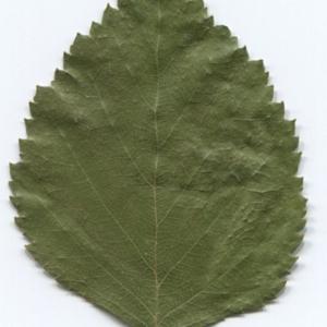 Photographie n°47237 du taxon Betula pubescens Ehrh. [1791]