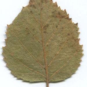 Photographie n°47238 du taxon Betula pubescens Ehrh. [1791]