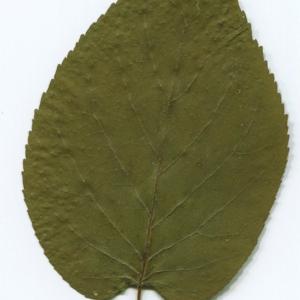 Photographie n°47245 du taxon Alnus cordata (Loisel.) Duby [1828]