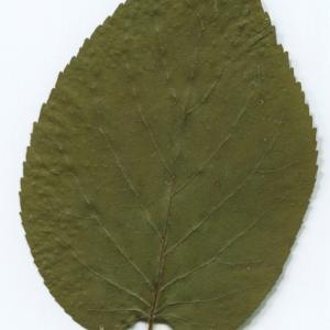 Photographie n°47246 du taxon Alnus cordata (Loisel.) Duby [1828]