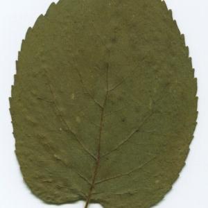 Photographie n°47247 du taxon Alnus cordata (Loisel.) Duby [1828]