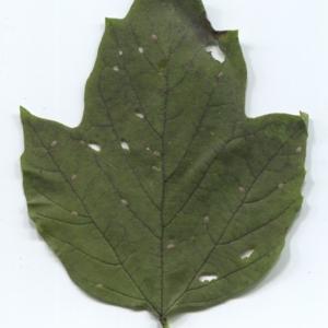 Photographie n°47347 du taxon Viburnum opulus L. [1753]
