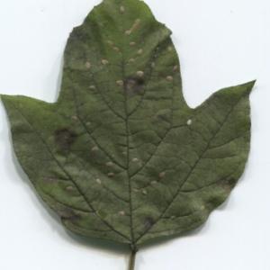 Photographie n°47349 du taxon Viburnum opulus L. [1753]