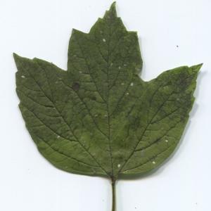 Photographie n°47350 du taxon Viburnum opulus L. [1753]