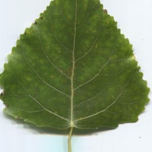 Photographie n°47458 du taxon Populus nigra L.