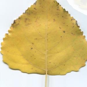 Photographie n°47460 du taxon Populus nigra L.