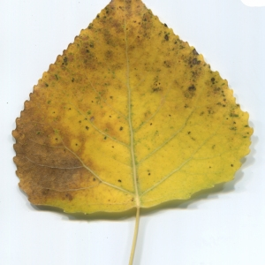 Photographie n°47461 du taxon Populus nigra L.