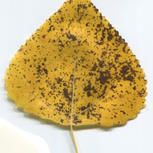 Photographie n°47462 du taxon Populus nigra L.