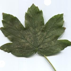 Photographie n°47464 du taxon Acer pseudoplatanus L.