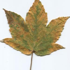 Photographie n°47465 du taxon Acer pseudoplatanus L.