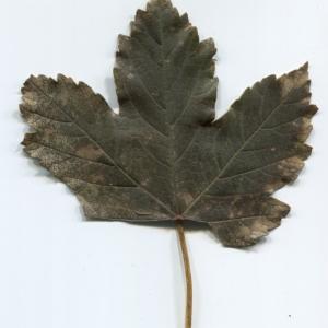 Photographie n°47466 du taxon Acer pseudoplatanus L.