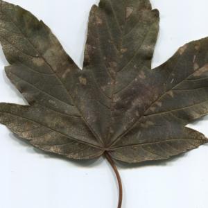 Photographie n°47467 du taxon Acer pseudoplatanus L.
