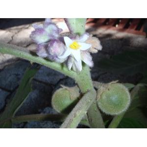 Solanum sp. [1753]