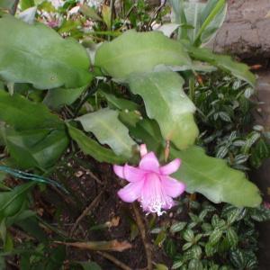 Photographie n°47498 du taxon Cactaceae
