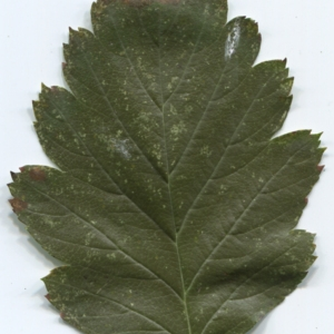 Photographie n°47539 du taxon Sorbus intermedia (Ehrh.) Pers. [1806]