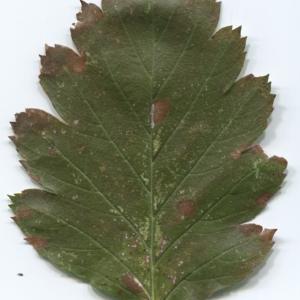 Photographie n°47541 du taxon Sorbus intermedia (Ehrh.) Pers. [1806]