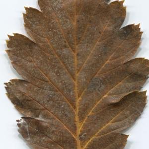 Photographie n°47542 du taxon Sorbus intermedia (Ehrh.) Pers. [1806]