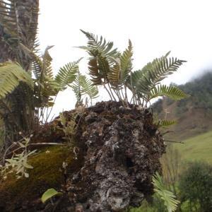 Photographie n°47584 du taxon Polypodium L.
