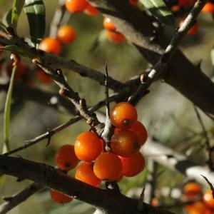 Hippophae rhamnoides L. (Argousier)