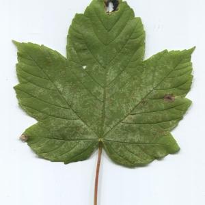 Photographie n°47624 du taxon Acer pseudoplatanus L.