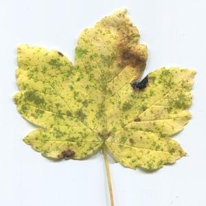 Photographie n°47625 du taxon Acer pseudoplatanus L.