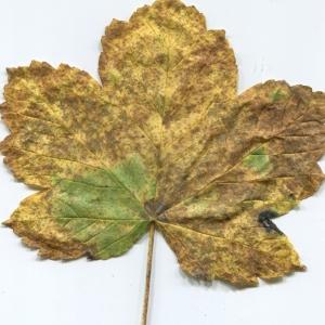 Photographie n°47626 du taxon Acer pseudoplatanus L.