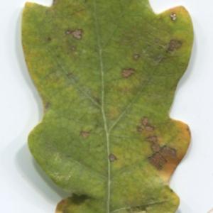 Photographie n°47646 du taxon Quercus robur L. [1753]