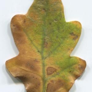 Photographie n°47648 du taxon Quercus robur L. [1753]