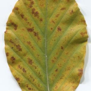 Photographie n°47649 du taxon Fagus sylvatica L.