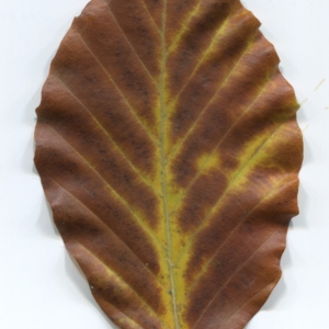 Photographie n°47650 du taxon Fagus sylvatica L.