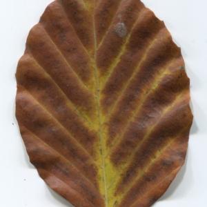 Photographie n°47651 du taxon Fagus sylvatica L.