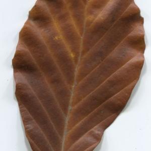 Photographie n°47652 du taxon Fagus sylvatica L.