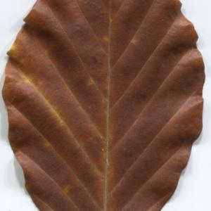 Photographie n°47653 du taxon Fagus sylvatica L.