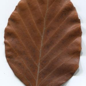 Photographie n°47655 du taxon Fagus sylvatica L.
