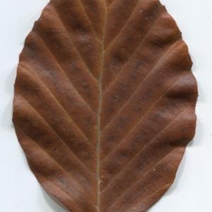 Photographie n°47656 du taxon Fagus sylvatica L.