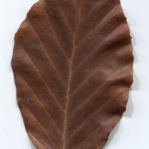 Photographie n°47657 du taxon Fagus sylvatica L.