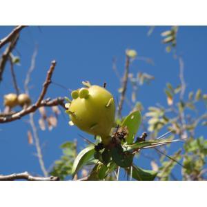Pereskia grandifolia Haw. (Hortensia)