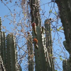 Photographie n°47703 du taxon Cactaceae