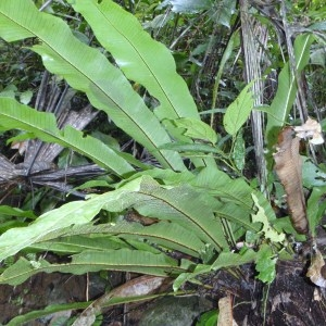 Photographie n°47720 du taxon Asplenium scolopendrium L.