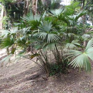 Photographie n°47730 du taxon Arecaceae