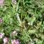 Catherine MAHYEUX - Securigera varia subsp. varia